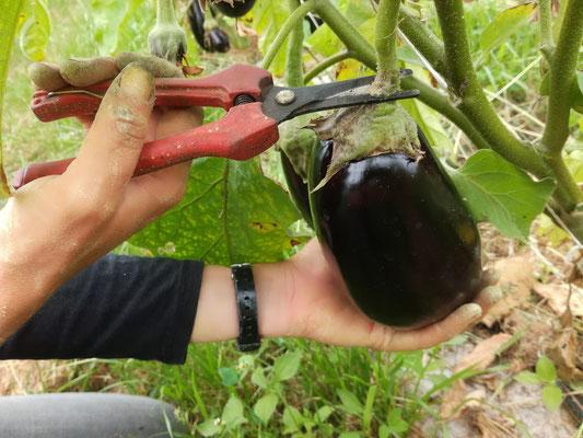 Cueillette d'aubergine bio