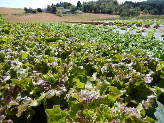 Salades bio poussant en plein champs