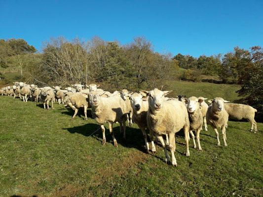 Nos moutons, grands fournisseurs de fertilisant naturel !