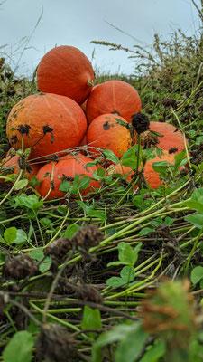 Récolte de potimarron orange