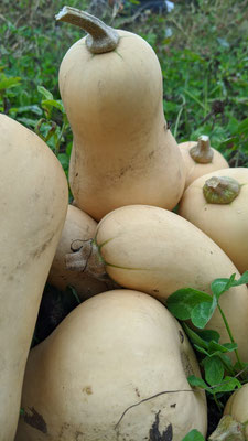 Récolte de butternut bio
