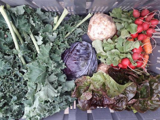 photo d'un panier AMAP : chou Kale céleri rave, radis, salade et chou rouge!