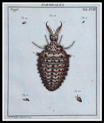 """Rösel von Rosenhof 1746, """"Ameisenlöwe"""", altkolorierter Kupferstich, Blattgröße 20,5cm x 17cm  60,- EUR"""