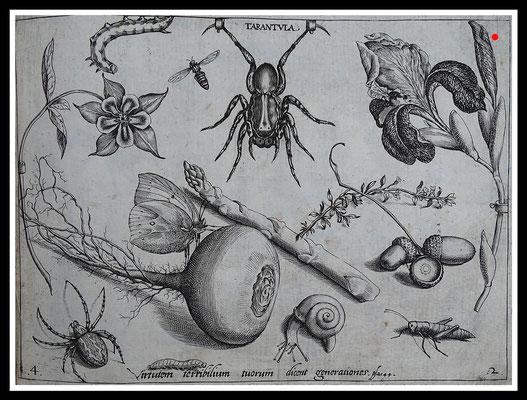 """TARANTULA"" Joris Hoefnagel 1592, Kupferstich, Blattgröße 16,5cm x 21,5cm  - VERKAUFT"