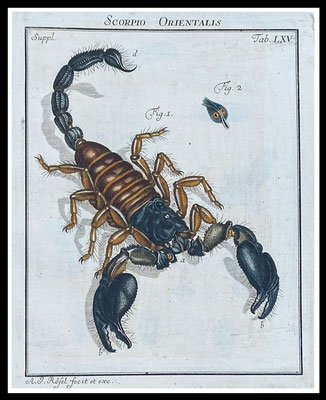 """Rösel von Rosenhof 1746, """"Scorpio Orientalis"""", altkolorierter Kupferstich, Blattgröße 20,5cm x 17cm  60,- EUR"""