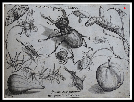 """SCARABEI UMBRA"" Joris Hoefnagel 1592, Kupferstich, Blattgröße 16,5cm x 21,5cm  - VERKAUFT"