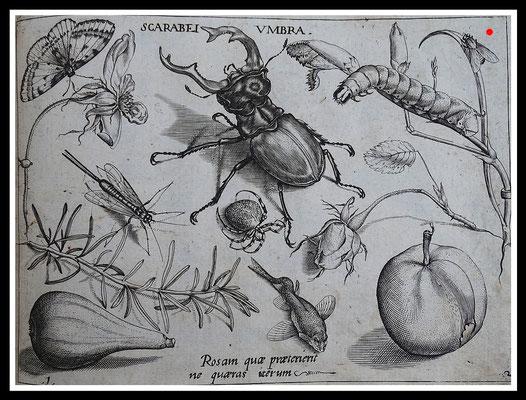 "Joris Hoefnagel 1592, ""SCARABEI UMBRA"",  Kupferstich, Blattgröße 16,5cm x 21,5cm  - VERKAUFT"