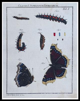 """Rösel von Rosenhof 1746, """"Trauermantel"""", altkolorierter Kupferstich, Blattgröße 20,5cm x 17cm  60,- EUR"""