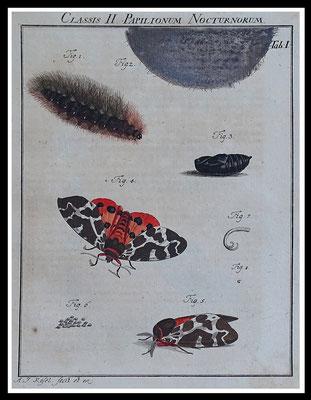 """""""Bärenspinner"""" Rösel von Rosenhof 1746, altkolorierter Kupferstich, Blattgröße 20,5cm x 17cm  60,- EUR"""