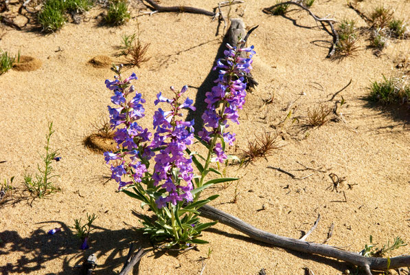 Lebenskünstler in der Wüste