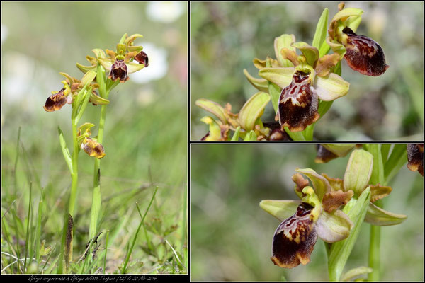 Ophrys aveyronensis X Ophrys sulcata Tiergues (12) le 30 Mai 2019