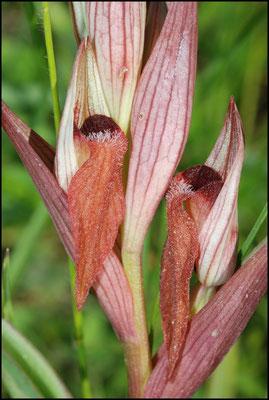 Serapias vomeracea Bugarach (11) Le : 19-05-2009