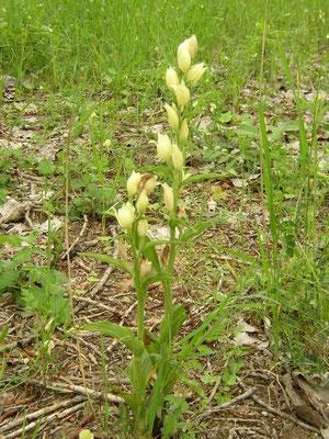 Cephalanthera damasonium Montferrier (34) le : 10-05-2004