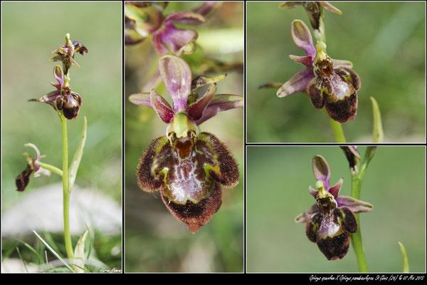 Ophrys speculum X Ophrys pseudoscolopax St Génis (26) le 07 Mai 2015