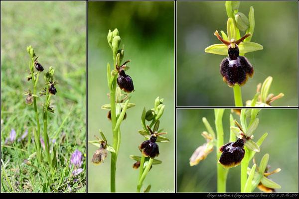 O.insectifera X O.passionis La Pezade (12) le 30 mai 2019