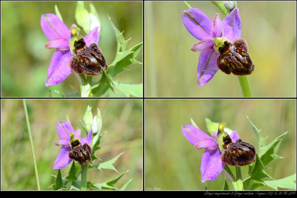 Ophrys aveyronensis X Ophrys scolopax Tiergues (12) le 30 Mai 2019