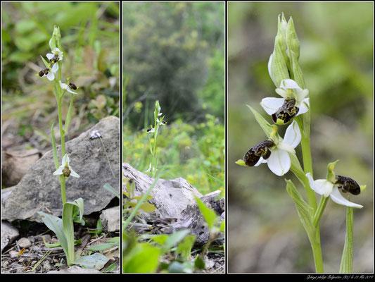 Ophrys philippi Belgentier (83) 23 Mai 2019