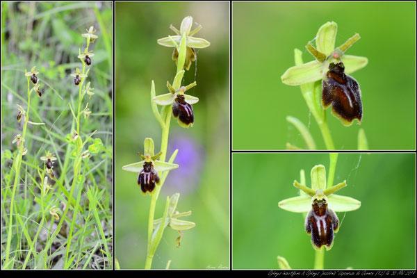 "O.insectifera X O.""litigiosa"" Lapanouse de Cernon (12) le 30 Mai 2019"