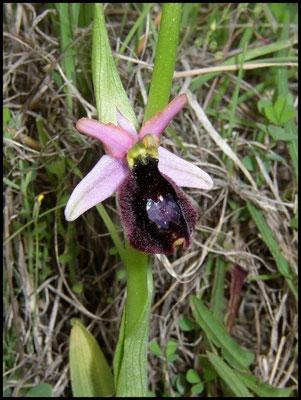 Ophrys aurelia Pougnadoresse (30) Le : 08-05-2004