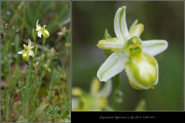 Ophrys splendida (hypochrome) Palayson (83) le 19 Avril 2015