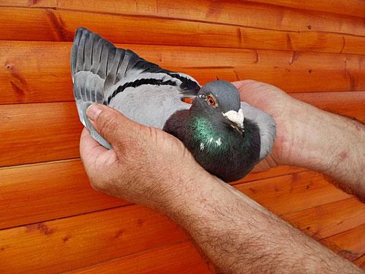 DV 02124-14-0195 den 1ten Konkurs gegen 221 Züchter und 5646 Tauben.