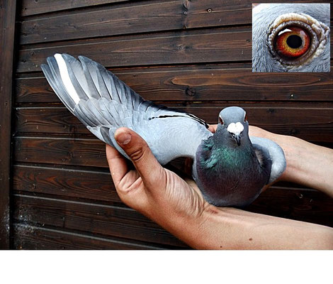 1ten Preis fliegt das Weibchen DV 08695-14-0505 blau von Hemau 425km