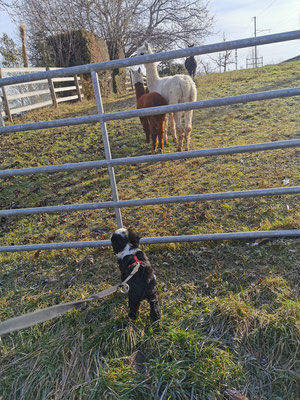Morgenspaziergang und Besuch bei den Alpakas
