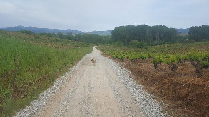 Jakobsweg mit Hund - Galizien in den Weinbergen
