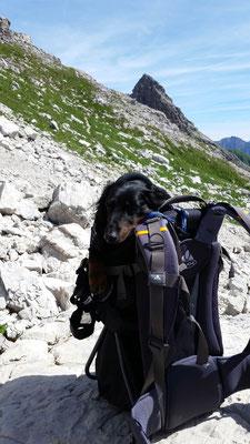 Bodo, der Wanderdackel, in seiner Trage. ©Augustin