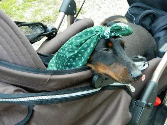 Bodo, der Wanderdackel, in seinem Kinderwagen. ©Augustin