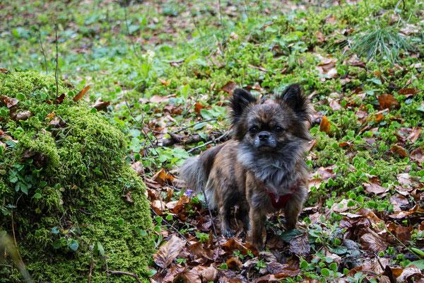 Wandern mit kleinen und mehreren Hunden: Pino. ©Lange