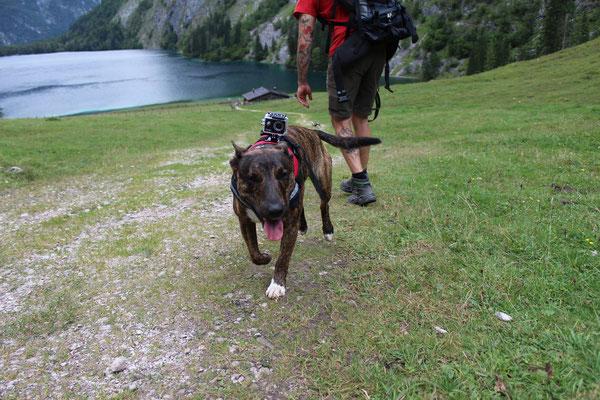 """Wandern mit """"Kampfhunden"""": Minibulli-Mix Thor"""
