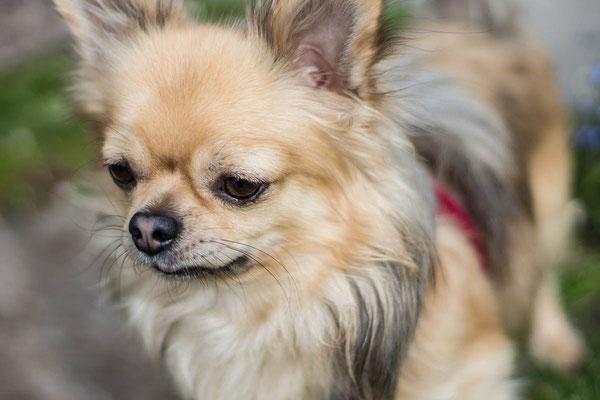 Wandern mit kleinen und mehreren Hunden: Skippy. ©Lange