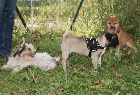 Biewer-Yorkshire-Hündin Evelina im Welpenkurs mit anderen Kleinhunden