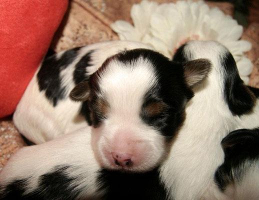 """Biewer-Yorkshire-Terrier-Züchter """"Happy Shaggy"""" hatte 2015 seine ersten Welpen"""