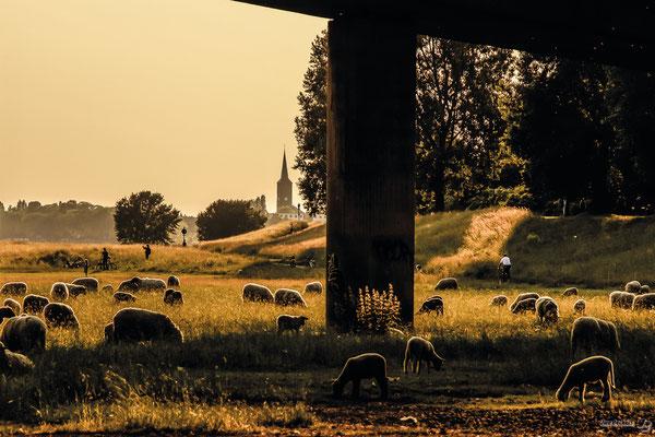 Tag 132_Schafe unter Kniebrücke 09.10.2014