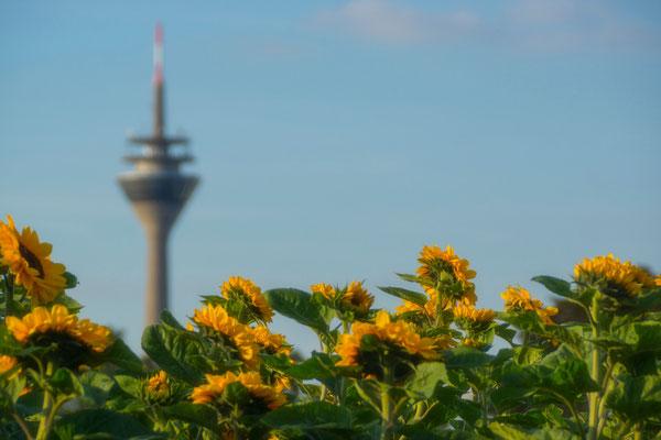 Tag 13_Sonnenblumen 12.06.2014
