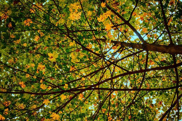 Tag 135_Herbstliches Blätterdach in Garath 12.10.2014