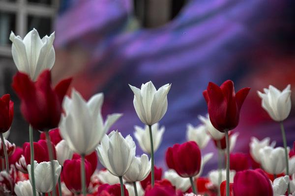 Tag 340_Tulpen Rot-Weiß 05.05.2015