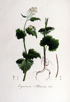 Illustration der Knoblauchsrauke | Von Janus (Jan) Kops - www.BioLib.de, Gemeinfrei, https://commons.wikimedia.org/w/index.php?curid=18893166