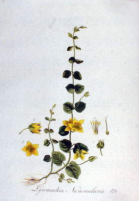 Illustration Pfennigkraut | By Janus (Jan) Kops - www.BioLib.de, Public Domain, https://commons.wikimedia.org/w/index.php?curid=18888694