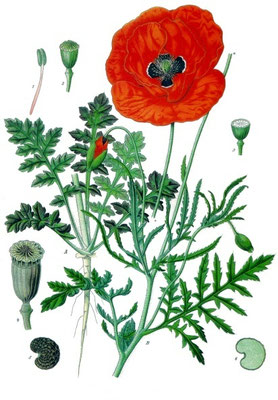Illustration des Klatschmohn | Von Franz Eugen Köhler, Köhler's Medizinal-Pflanzen - List of Koehler Images, Gemeinfrei, https://commons.wikimedia.org/w/index.php?curid=255420