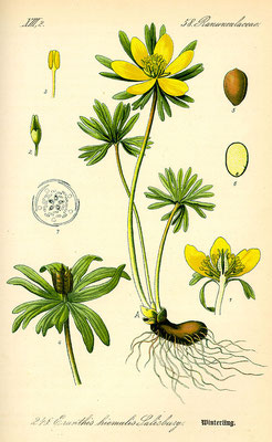 Illustration des Winterling (Eranthis hyemalis) | www.biolib.de