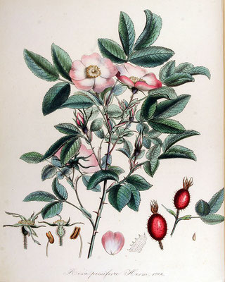 Illustration der Apfel-Rose | Von Janus (Jan) Kops - www.BioLib.de, Gemeinfrei, https://commons.wikimedia.org/w/index.php?curid=18917083