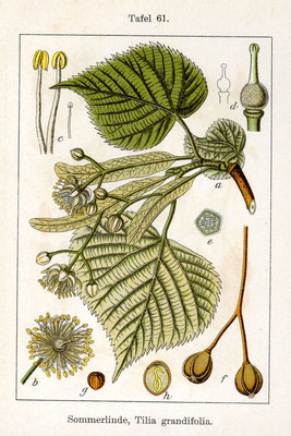 Illustration der Sommerlinde | Par Johann Georg Sturm (Painter: Jacob Sturm) — Fig. from book Deutschlands Flora in Abbildungen. at http://www.biolib.de, Domaine public, https://commons.wikimedia.org/w/index.php?curid=767495
