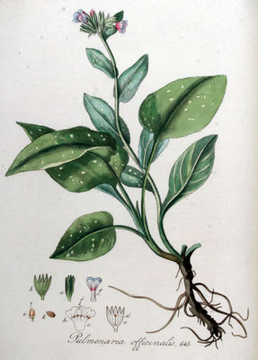 Illustration von Geflecktes Lungenkraut (Pulmonaria officinalis) | www.biolib.de