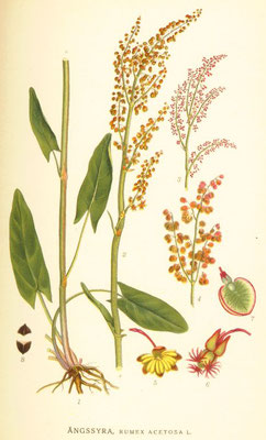 "Illustration ""Wiesen-Sauerampfer"" 