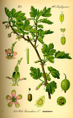 Illustration der Stachelbeere | www.biolib.de