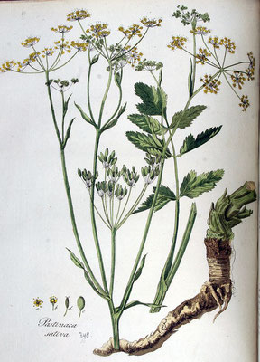 Illustration des Pastinak | By Janus (Jan) Kops - www.BioLib.de, Public Domain, https://commons.wikimedia.org/w/index.php?curid=18892950