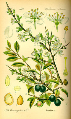 Illustration der Schlehe (Prunus spinosa) | www.biolib.de